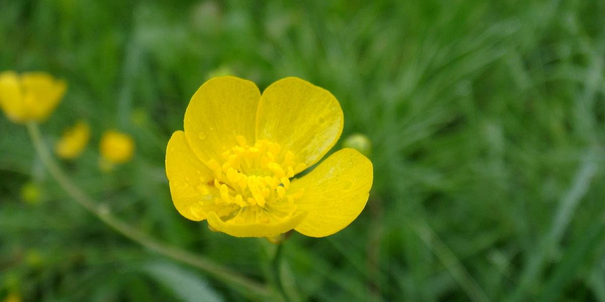 バターカップの花