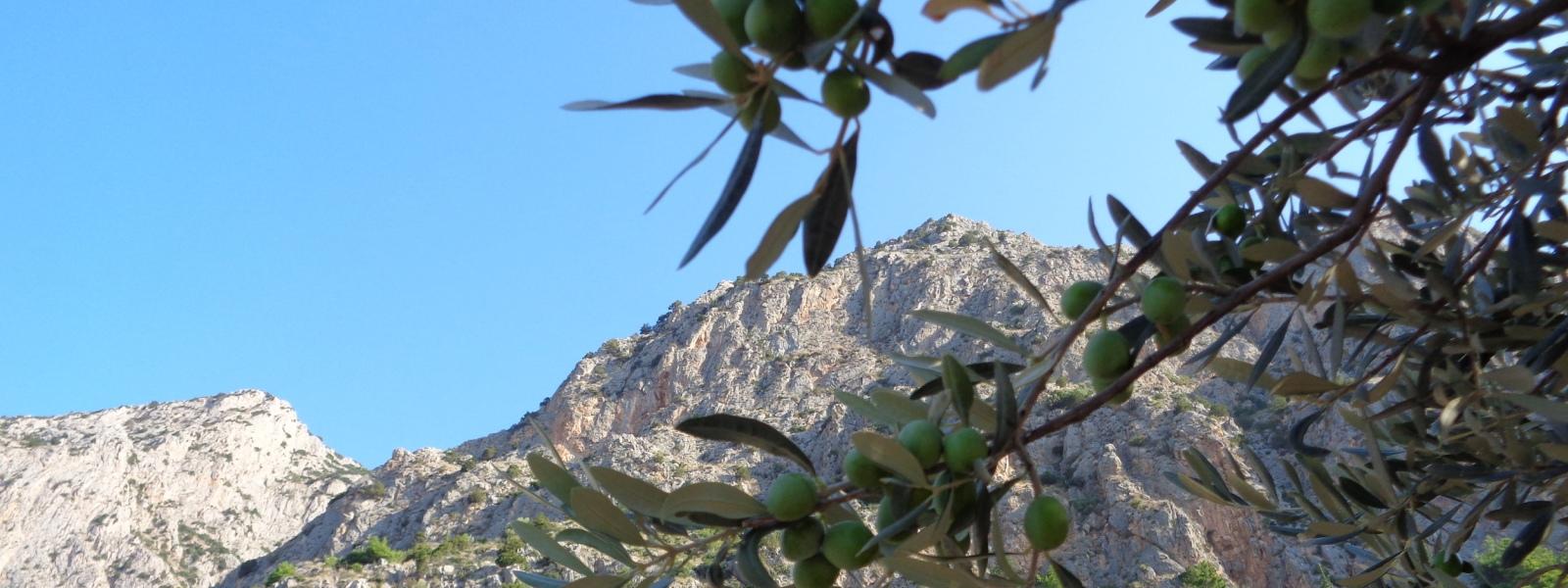 デルフィの山とオリーヴ