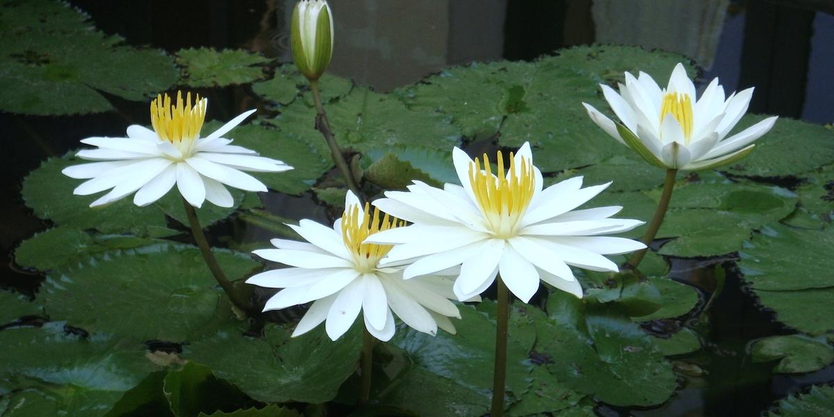 バリ島、蓮の花